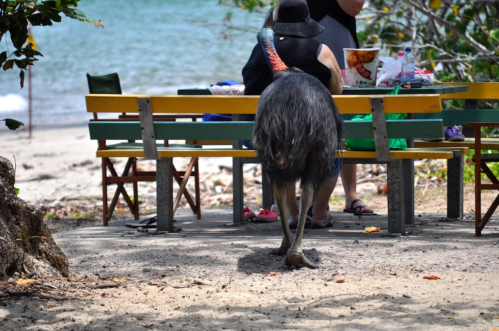 If a cassowary is prepared to try and steal a bucket of chicken from this Aussie then surely an iPod isn't out of the question?!