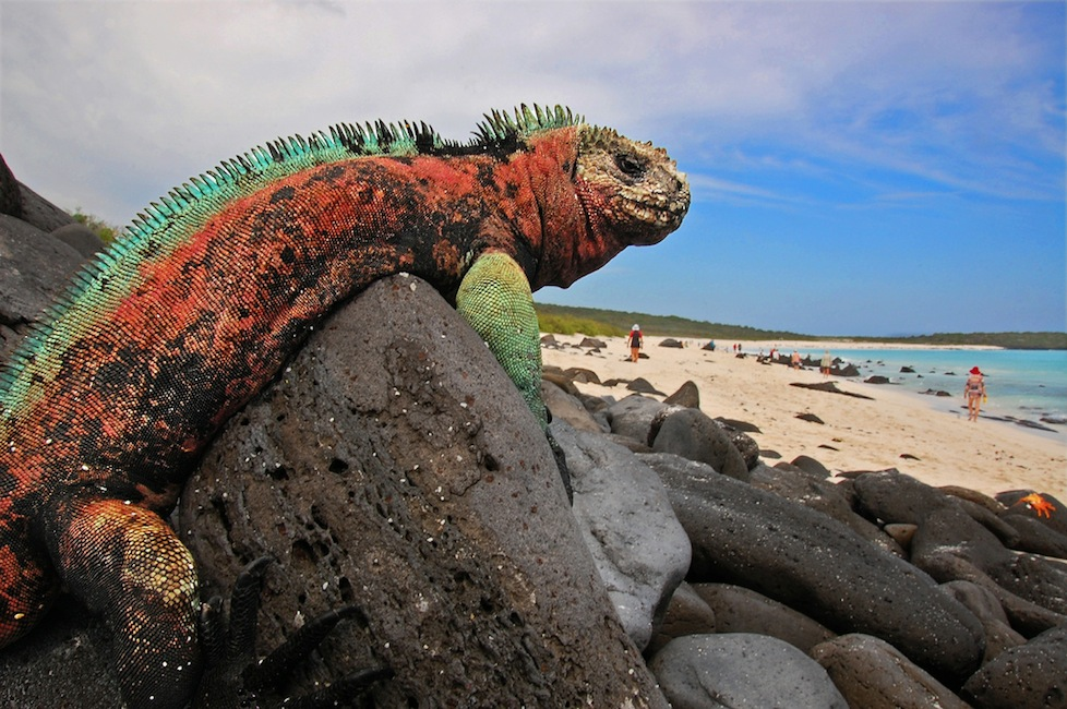 Huge Iguana, Galapagos Islands