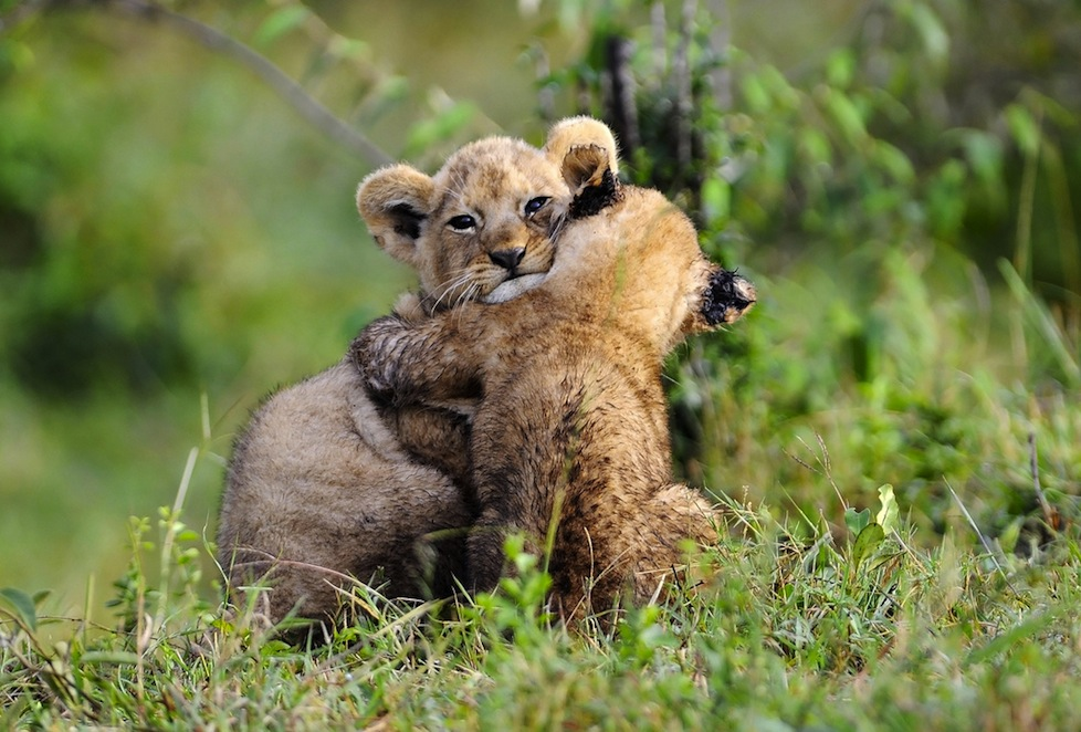 Does it get any cuter? Lion cubs in Kenya