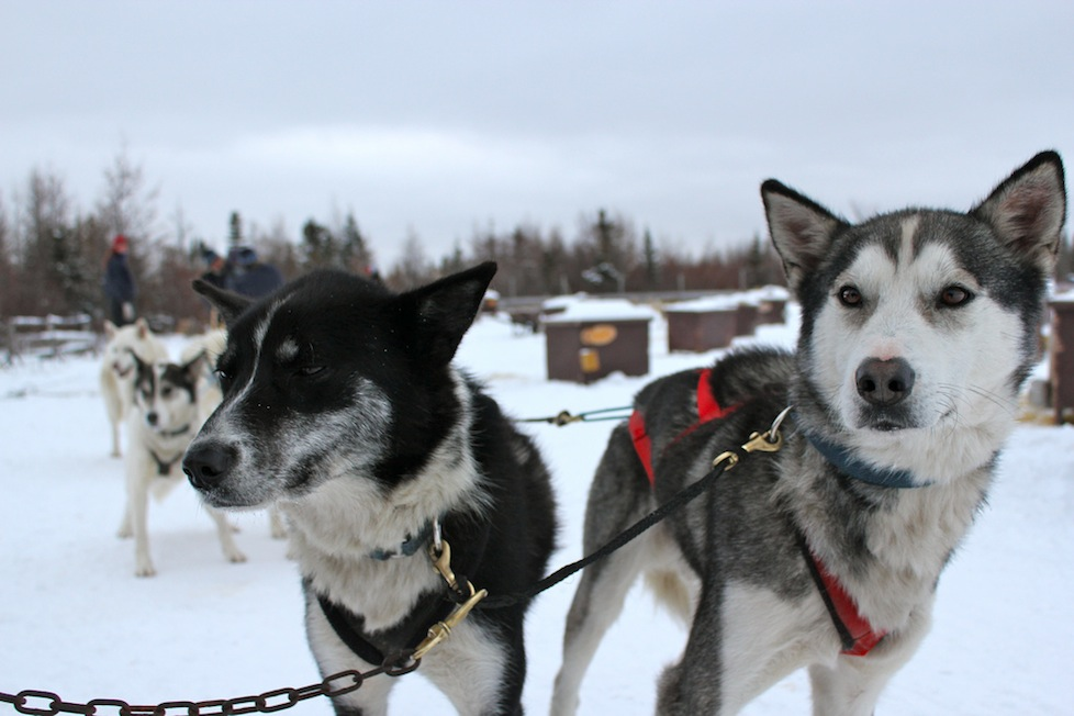 Gorgeous huskies forming a powerful sled team - Manitoba, Canada