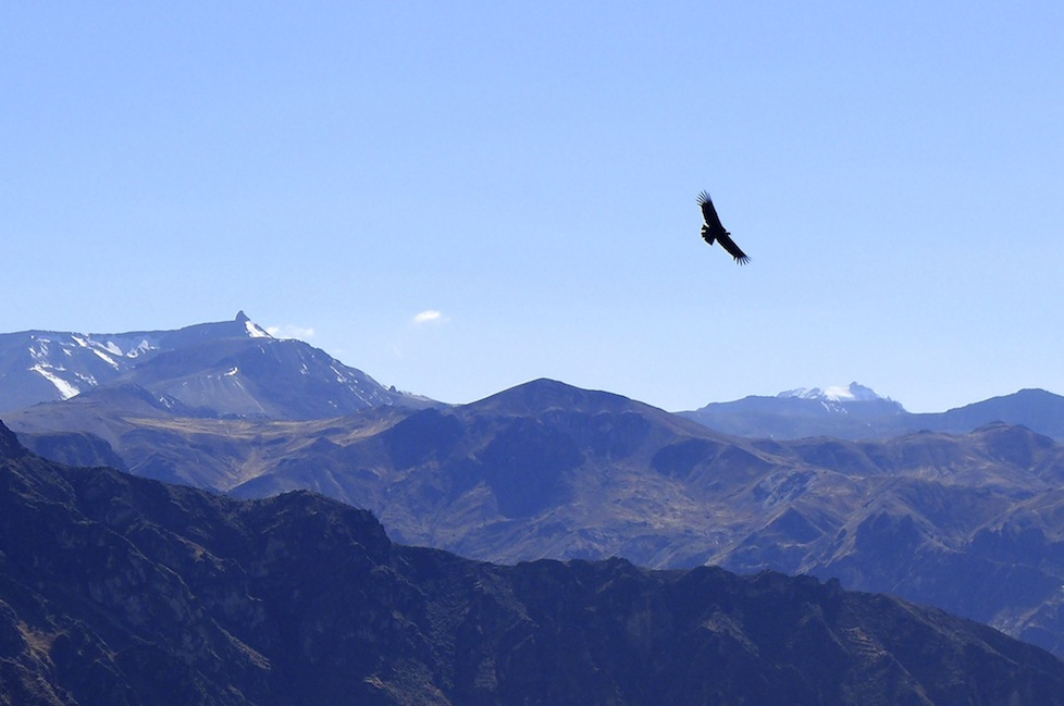 The majestic condor soaring above the canyon