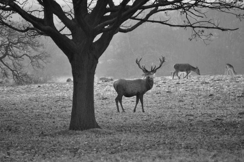 Studley Deer Park Fountains Abbey Deer Stag Monochrome
