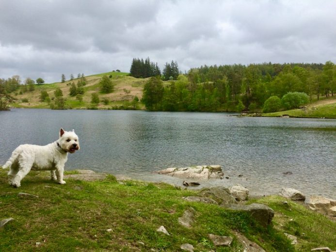 Westie Tarn Hows Lake District